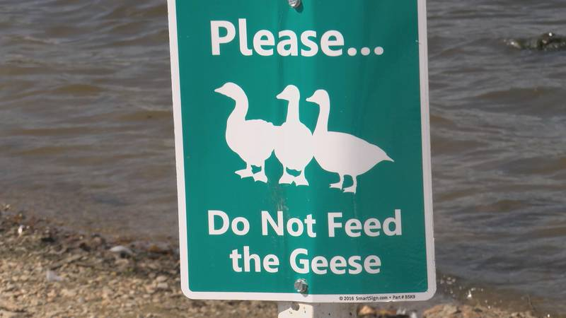 """In Paragould, some new """"do not feed the geese"""" signs have caused quite a stir from people who..."""