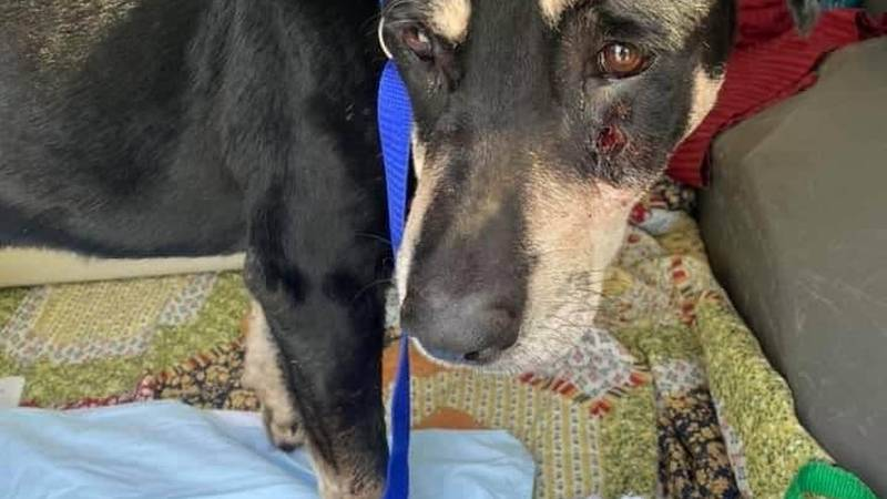 Sebastian a shepard mix was found shot in the face.