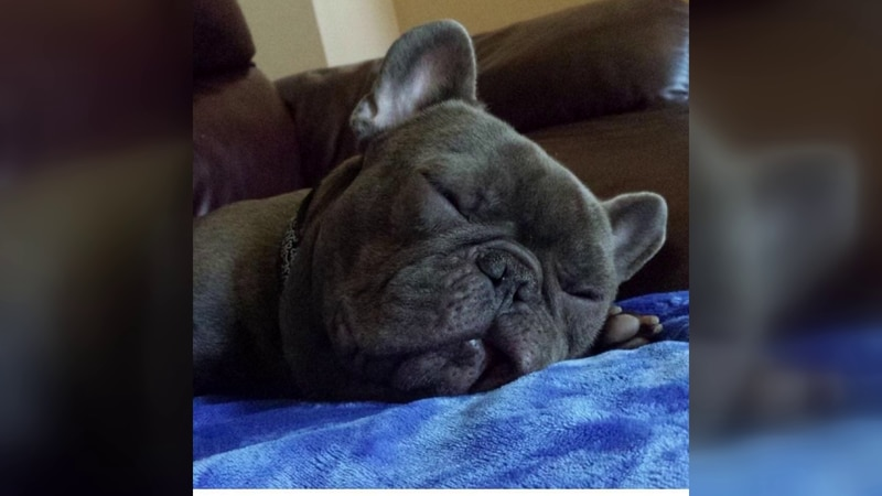 Woman says her mother's French Bulldog named Bolt died due to broken A/C system. (source: WMC-TV)