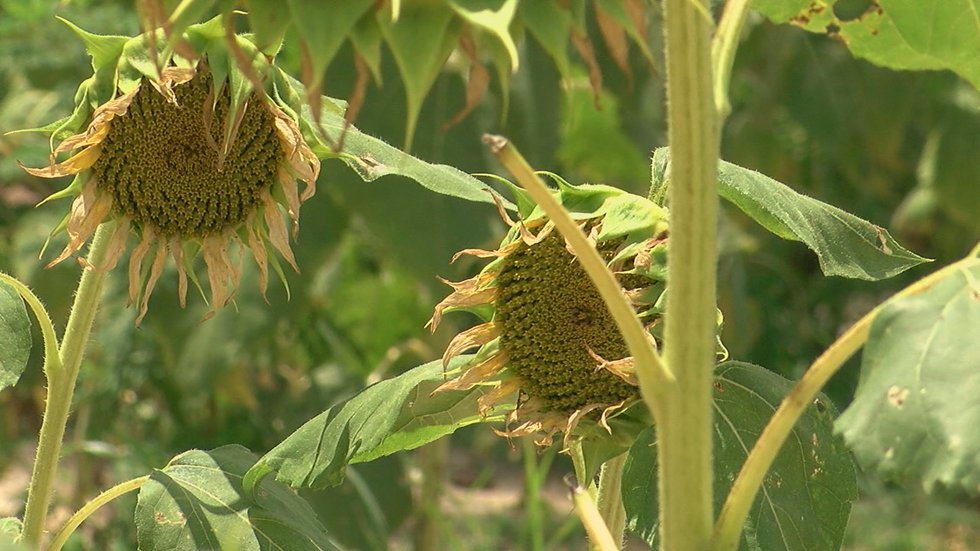 The landowner planted the field in sunflowers and the commission paid for the hunting rights.