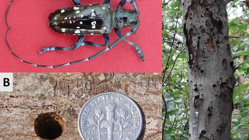 A. An adult male Asian longhorned beetle (Michael Bohne, USDA Forest Service). B. Large, round...