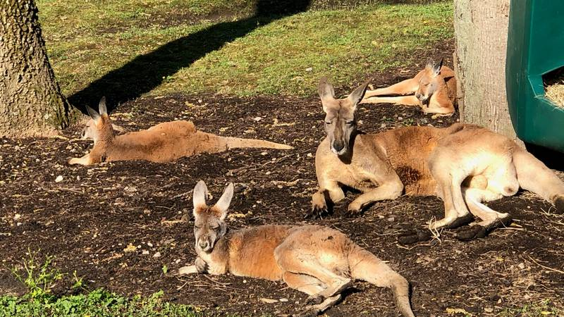 The Memphis Zoo opens a new exhibit with red kangaroos native to Australia.