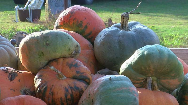 While the nation deals with a pumpkin shortage just ahead of Halloween, local pumpkin patches...