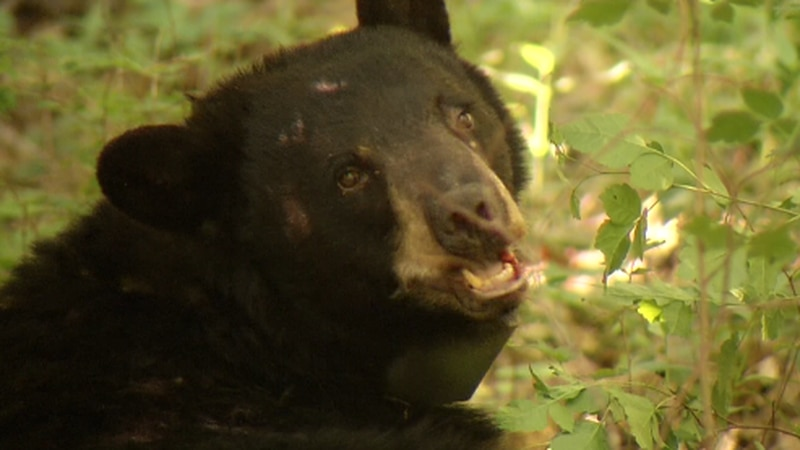 Over 6,000 people have applied for the 400 permits for Missouri's first-ever black bear hunting...