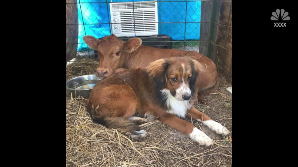 An Oklahoma couple's disabled calf and carsick cattle dog have become best friends.