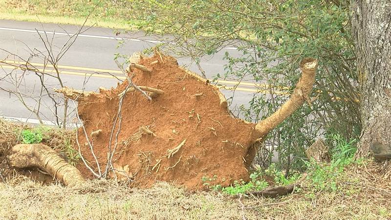 Heavy rain Wednesday and winter weather from February is causing many trees to uproot.